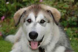 Development Of Husky Dogs Pets
