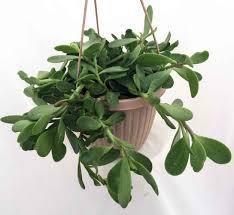 Engrossing Jade Plant Hanging Plants Livinghours in Indoor Hanging Plants