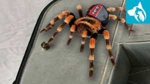 Emotional support animal real Certapet Exotic Emotional Support Animal Tarantula Emotional Pet Support Exotic Emotional Support Animals Emotional Pet Support
