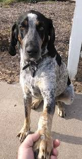 Bluetick Coonhound Size Chart Bluetick Coonhound Dog Breed Information And Pictures