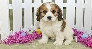 Cavachon Puppy Weight Chart Cavachon Dog The Cavalier Bichon Mix Breed Information Center
