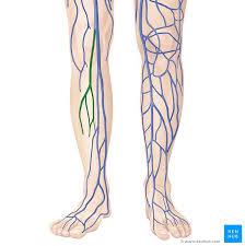 Small Saphenous Vein Anatomy Kenhub