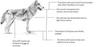 gray wolf diagram all about repair and wiring collections gray wolf diagram diagram in addition suzuki lt250r wiring diagram on arctic wolf gray
