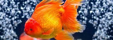 petsmart goldfish tank. Delighful Petsmart Article Hero Image To Petsmart Goldfish Tank Y