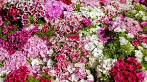 what do flower colours mean