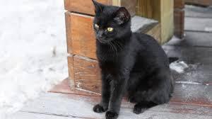 black cats with yellow eyes kitten. Plain Cats Black Cat Kitten With Yellow Eyes Outdoor Stock Video Footage  Videoblocks To Cats With Yellow Eyes Kitten