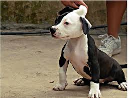 white and black pitbull puppies.  Pitbull Picture Of A White And Black Pitbull Puppyjpg With White And Black Pitbull Puppies P