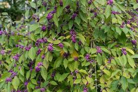 Image result for berry bush