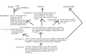 Ape Evolution Chart