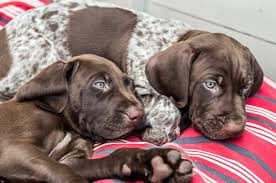 for german shorthaired pointers