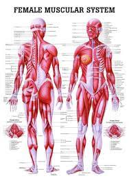 The muscular system is a topic of the event anatomy for the 2020 competition, along with the integumentary system and the skeletal system. The Female Muscular System Laminated Anatomy Chart