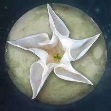Image result for luna flower