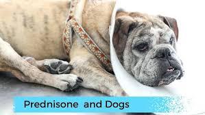 prednisone side effects in dogs