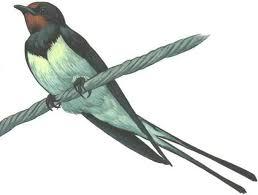 Перелетные птицы Ласточка Трясогузка Путешествие по Карелии Ласточка