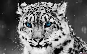 white tiger wallpaper hd 1080p. Modren White And White Tiger Wallpaper Hd 1080p P