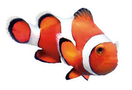clown fish. Wonderful Fish Study Finds Optimal Level Of Astaxanthin In Feed Results Best Color  Clownfish Inside Clown Fish T