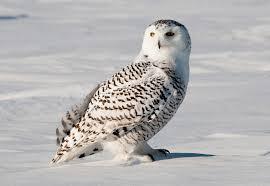 ПОЛЯРНАЯ или БЕЛАЯ СОВА фото видео описание Птицы Полярная сова