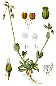 Holosteum umbellatum – Wikipédia, a enciclopédia livre