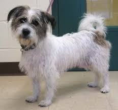 wire hair terrier mix breeds. Beautiful Breeds Wellesley70520A And Wire Hair Terrier Mix Breeds