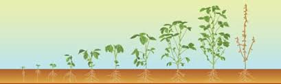 Plant Growth Charts For Corn Wheat Soybeans Powerag