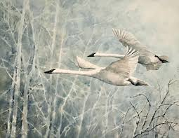 trumpeter swans in flight by ginny o neill
