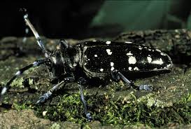 Invasive Species Asian Long Horned Beetle Michigan United