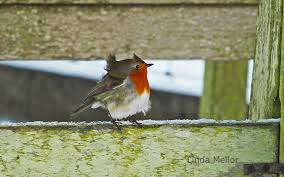 Image result for bird with ruffled feathers in the wind