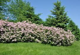 Savannah Holly: This evergreen ...
