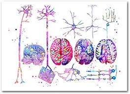 QYH Anatomía del Cerebro Neuronas Cartel Sistema nervioso Pinturas  artísticas Tipos de neuronas Imprimir Imagen de histología Neurocirujano  Decoración de Regalo médico 40X60cm Sin Marco: Amazon.es: Hogar