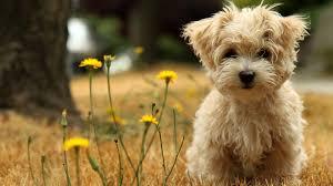 cute dog pet wallpaper hd desktop 45262
