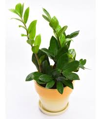 ... Sheel Greens Z plant Indoor Indoor Plant ...