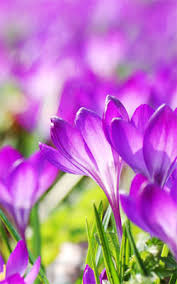beautiful wallpapers of flowers for mobile. Beautiful Purple Crocus Flowers Mobile Wallpaper Preview And Wallpapers Of For