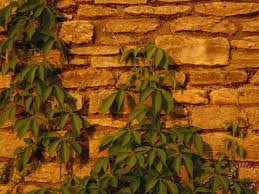 virginia creeper vine clinging to a stone wall painting raymond gehman virginia creeper vine clinging on stone wall artist with raymond gehman virginia creeper vine clinging to a stone wall