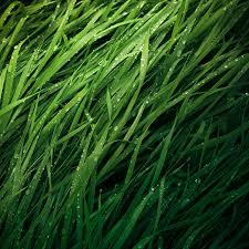 tall grass texture seamless. Long Grass Texture For Download Tall Seamless