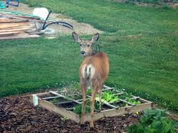 how to keep deer out of your garden. How To Keep Deer Out Of Your Garden The Cheap Vegetable Gardener