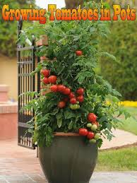 indoor tomato garden. Indoor Tomato Garden Growing Tomatoes In Pots Is One Way To Enjoy Fresh Even