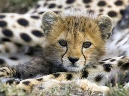 baby jaguar wallpaper. Interesting Jaguar Jaguar Animal Baby  Wallpaper  Free Wallpapers HD Desktop  Backgrounds Inside L