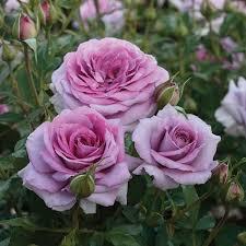 Most Fragrant Climbing Roses  David Austin RosesFragrant Rose Plants