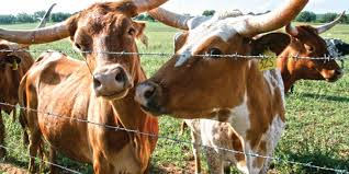 Barbed wire fence cattle Bekaert Bekaert The Right Fence The First Time American Cattlemen Bekaert The Right Fence The First Time Bekaert Curran Lehr