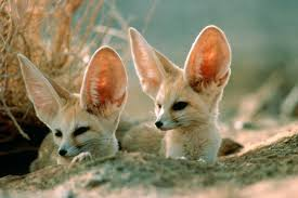 nocturnal desert animals. Contemporary Desert The Fennec Fox Whose Large Ears Cool Their Temperature And Aid With  Nocturnal Hearing Inside Nocturnal Desert Animals W