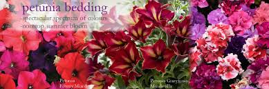 petunia bedding plants