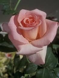 Confidence Hybrid Tea Rose | Gardening Faves | Rose, Flowers ...