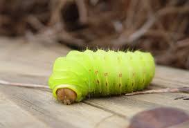 Light Yellow Fuzzy Caterpillar A Truly Helpful Caterpillar Identification Chart