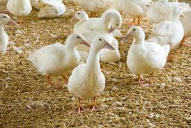 نتیجه تصویری برای اردک گوشتی