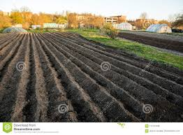 furrow rows with potatoes just planted in organic family garden