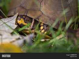 Three Toed Box Turtle Image Photo Free Trial Bigstock