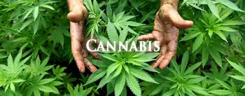 sample essay on impact of legalization of cannabis impact of legalization of cannabis