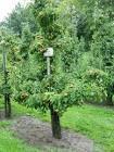 laagstam perenboom