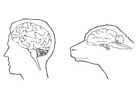 Kleurplaat Hersenen Mens En Schaap Fondos De Pantalla