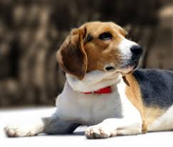 Sunburn In Dogs Can Dogs Get Sunburned Vetwest Animal